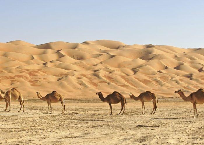Empty Quarter Camels in oman